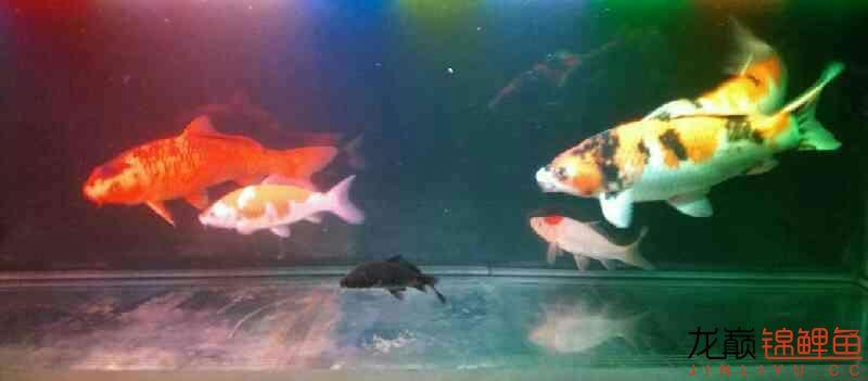北京鱼缸大概多少钱我和我追逐的梦 北京观赏鱼 北京龙鱼第2张