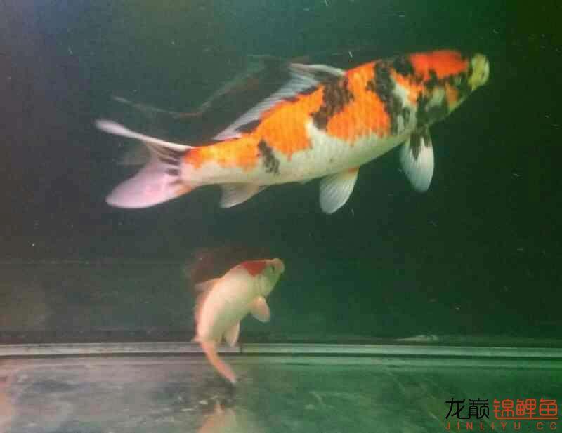 北京鱼缸大概多少钱我和我追逐的梦 北京观赏鱼 北京龙鱼第7张