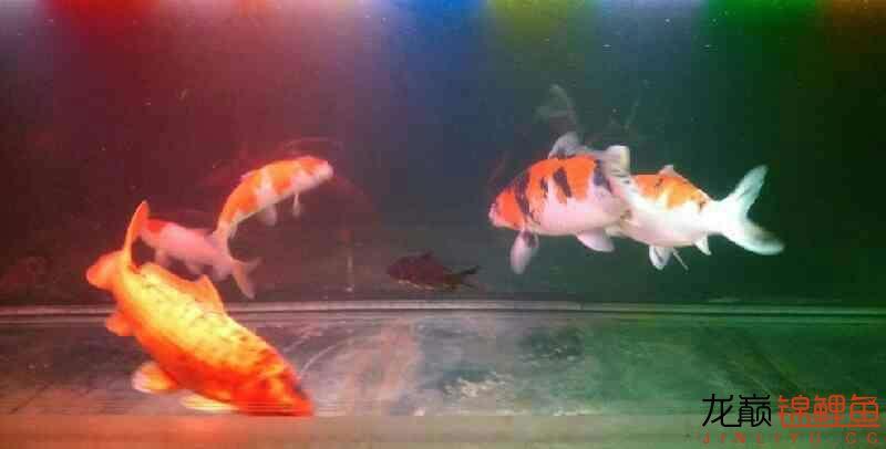 北京鱼缸大概多少钱我和我追逐的梦 北京观赏鱼 北京龙鱼第9张