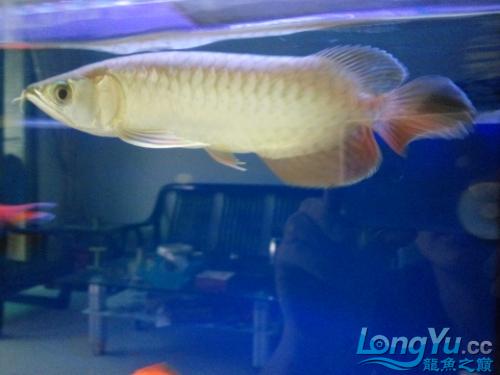北京皇冠黑白魟鱼价格为什么他老是很不安的游来游去 北京观赏鱼 北京龙鱼第2张
