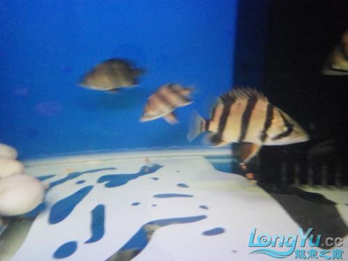 北京皇冠黑白魟鱼价格为什么他老是很不安的游来游去 北京观赏鱼 北京龙鱼第3张