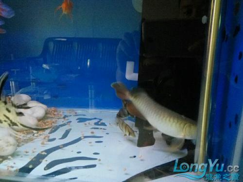 北京皇冠黑白魟鱼价格为什么他老是很不安的游来游去 北京观赏鱼 北京龙鱼第4张