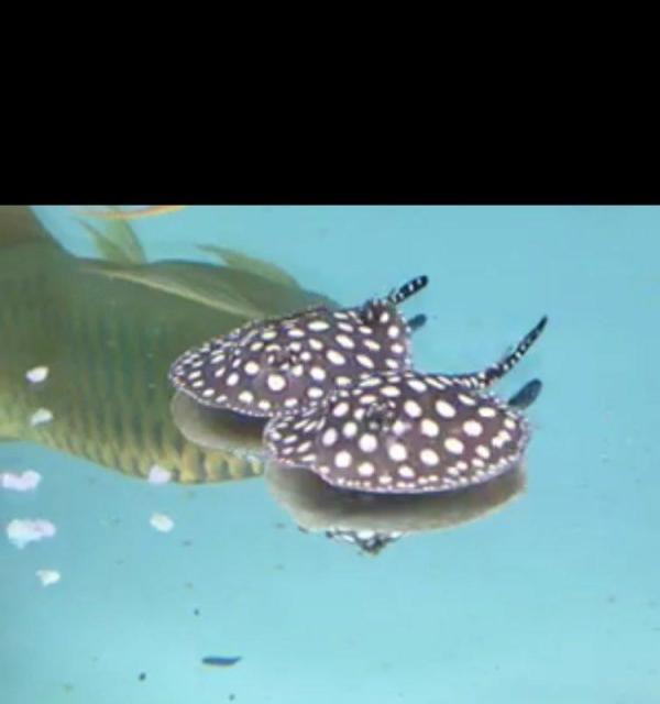 北京皇冠黑白魟鱼价格为什么他老是很不安的游来游去 北京观赏鱼 北京龙鱼第5张