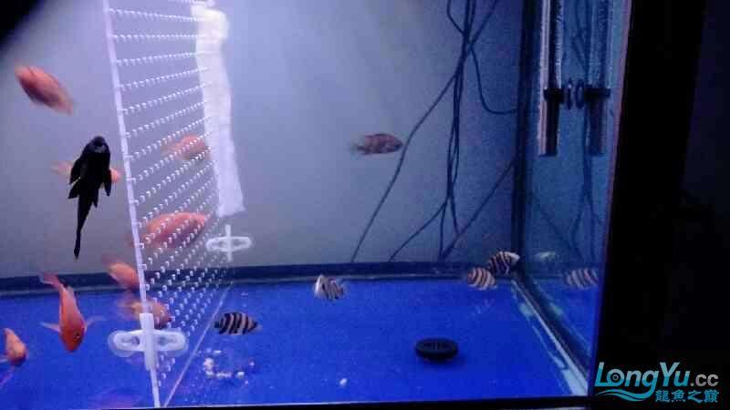 今天我邀请了几只新老虎 质量不是很好因为我不是第 1个 北京观赏鱼 北京龙鱼第1张
