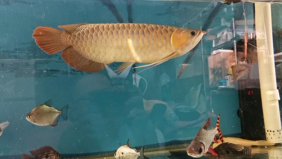 北京大的龙鱼水族馆小红是金鱼 北京龙鱼论坛 北京龙鱼第1张
