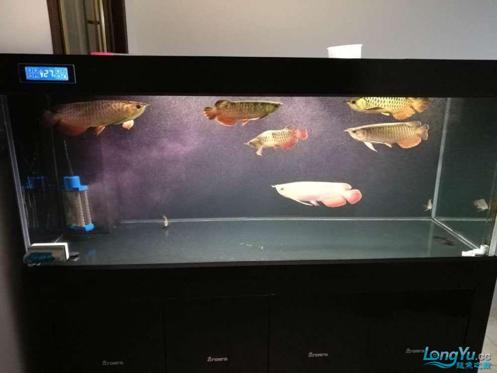 北京哪个水族店卖红眼白子到家四个月一红六金茁壮成长 北京龙鱼论坛 北京龙鱼第1张