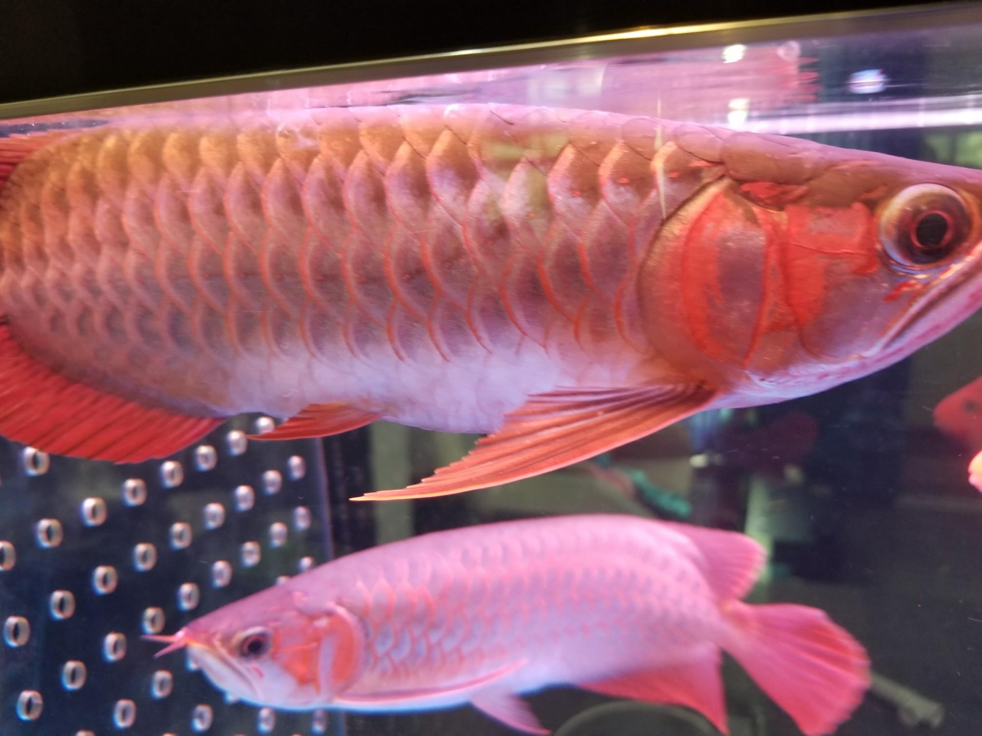 鱼背上有白色的东西 是不是融鳞了? 北京观赏鱼 北京龙鱼第2张