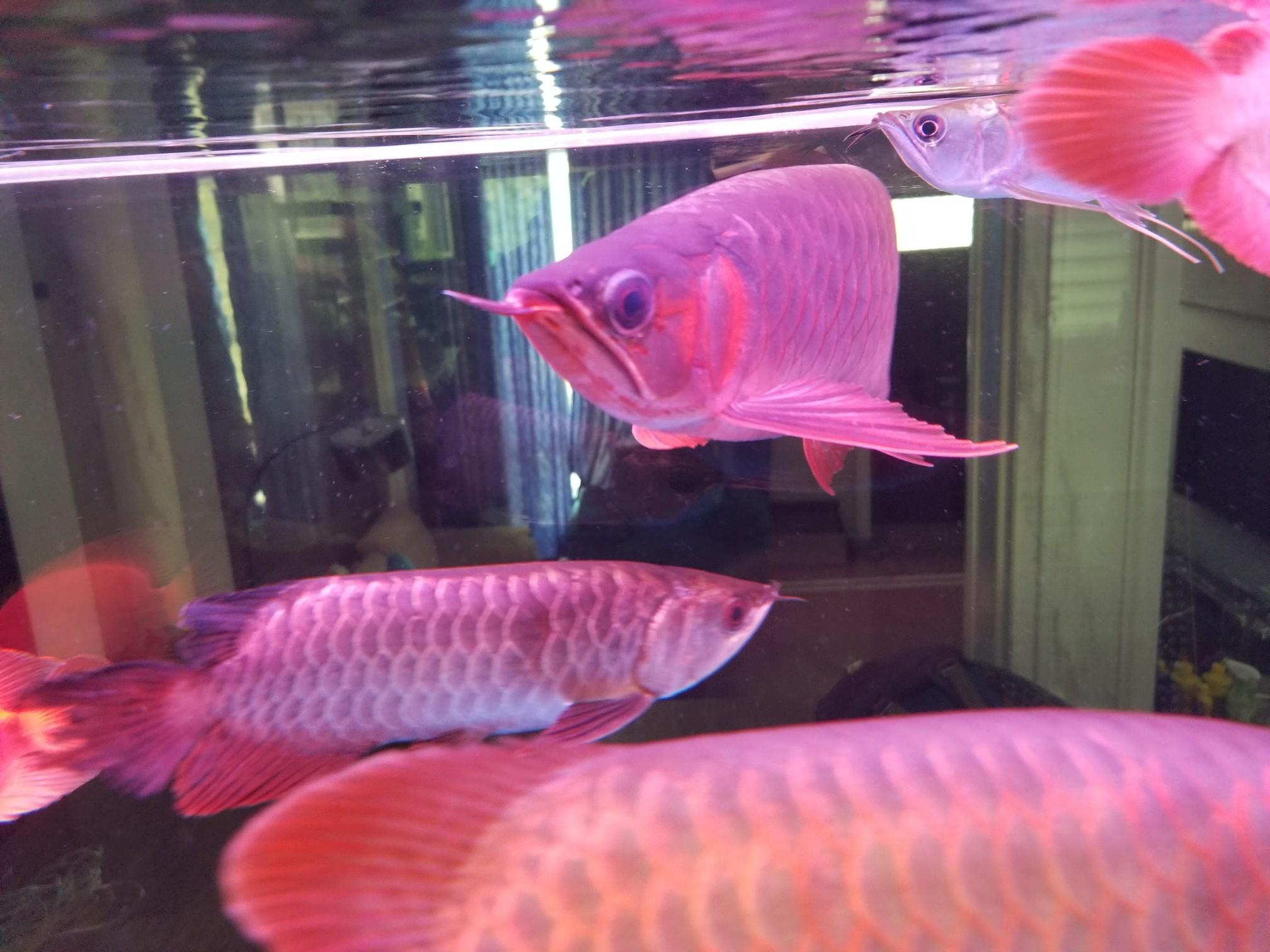 鱼背上有白色的东西 是不是融鳞了? 北京观赏鱼 北京龙鱼第3张