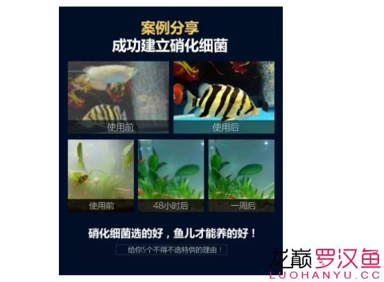 北京哪个水族店卖直纹飞凤买95送190喜尊优惠大放送仅此一次 北京观赏鱼 北京龙鱼第5张