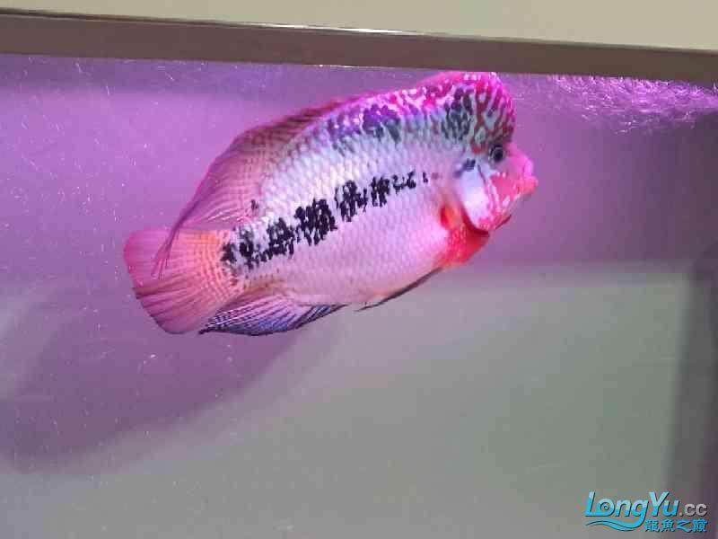 养大到20多厘米了还是不知道啥品种 北京龙鱼论坛 北京龙鱼第2张