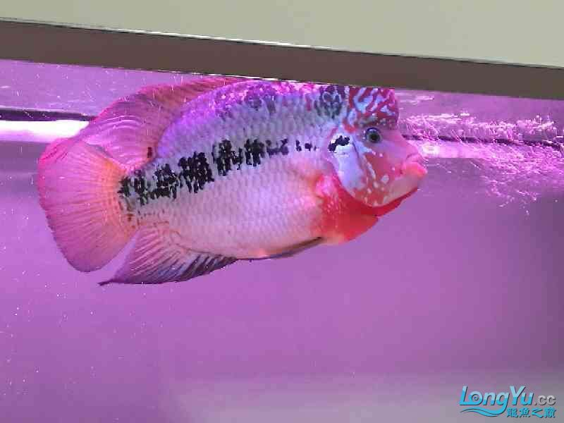 养大到20多厘米了还是不知道啥品种 北京龙鱼论坛 北京龙鱼第4张
