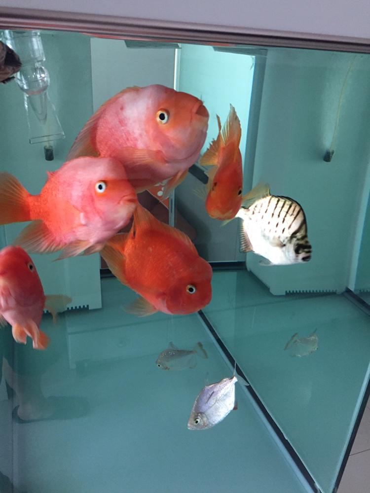 鹦鹉鱼起头的地方为啥发白求解 北京观赏鱼 北京龙鱼第1张