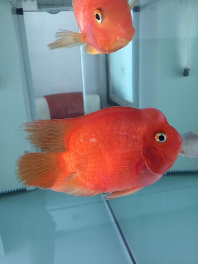 鹦鹉鱼起头的地方为啥发白求解 北京观赏鱼 北京龙鱼第2张