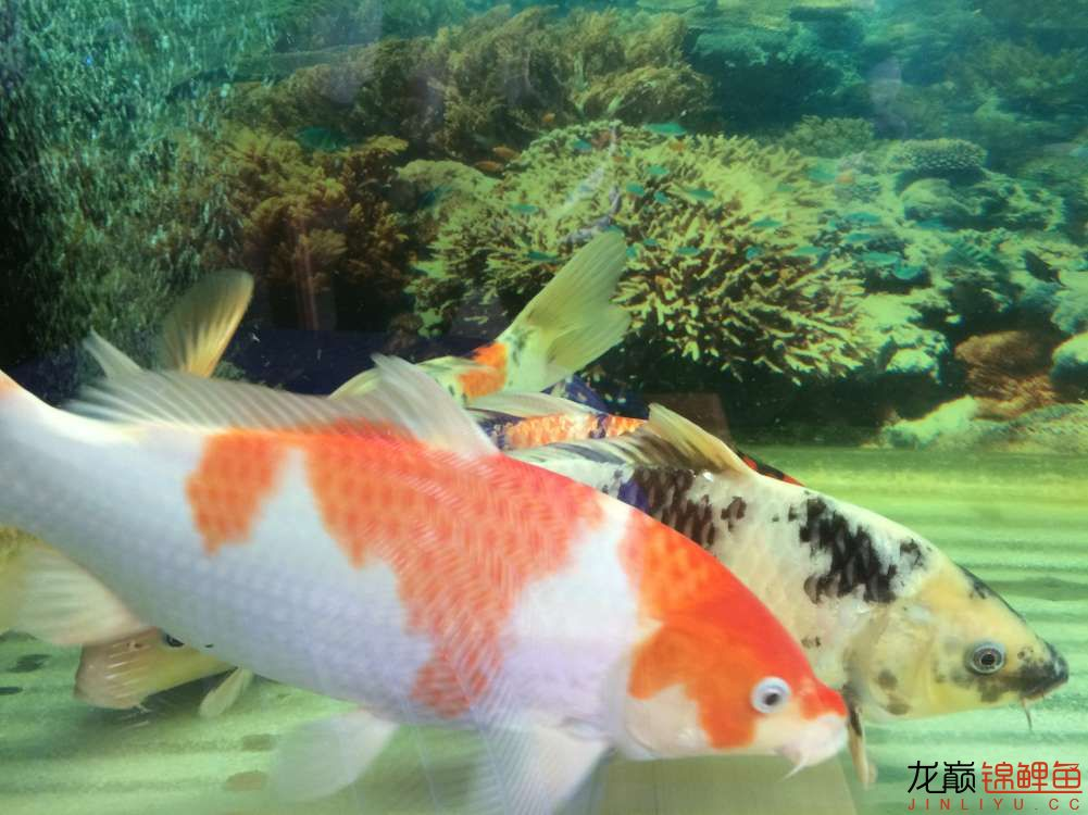 炮儿越来越大了 北京观赏鱼 北京龙鱼第2张