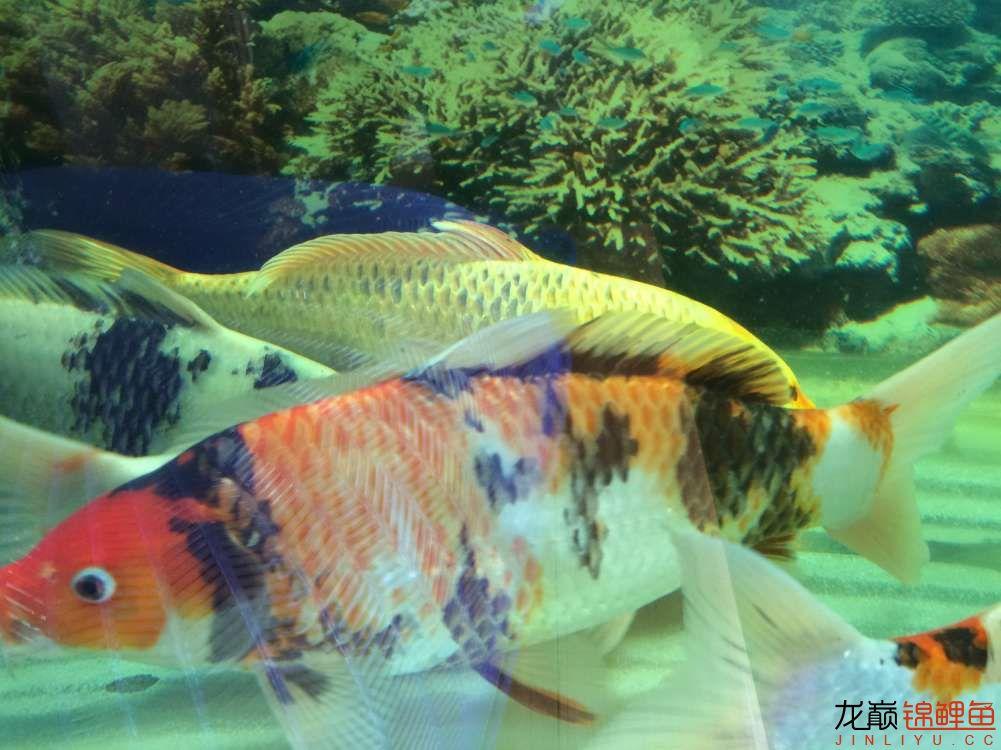 炮儿越来越大了 北京观赏鱼 北京龙鱼第4张