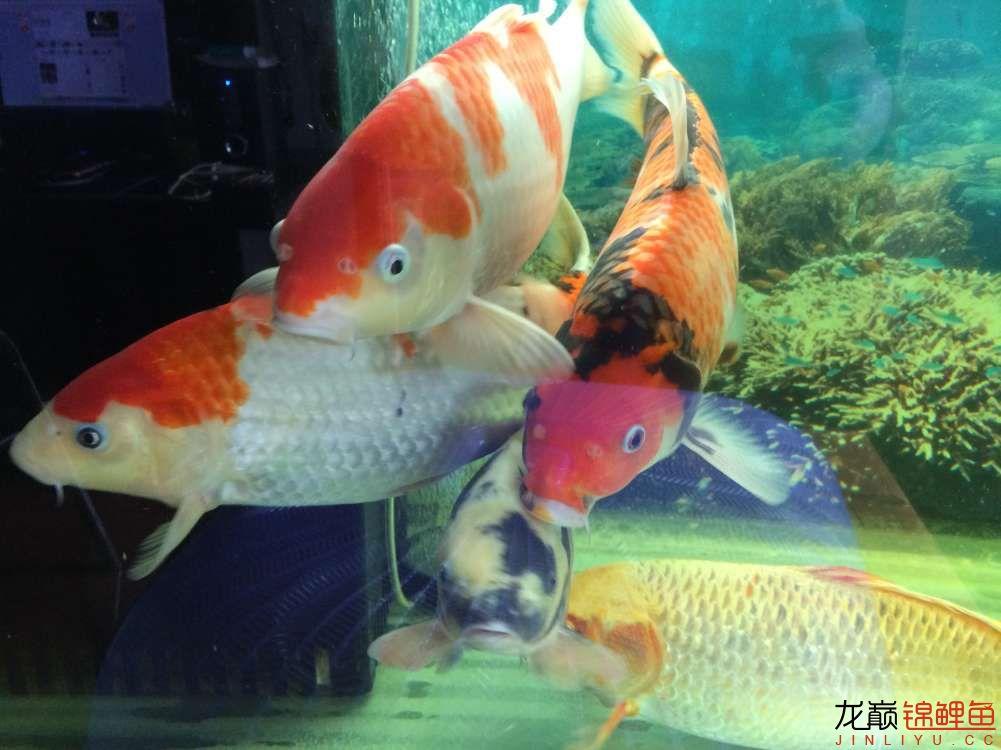 炮儿越来越大了 北京观赏鱼 北京龙鱼第5张