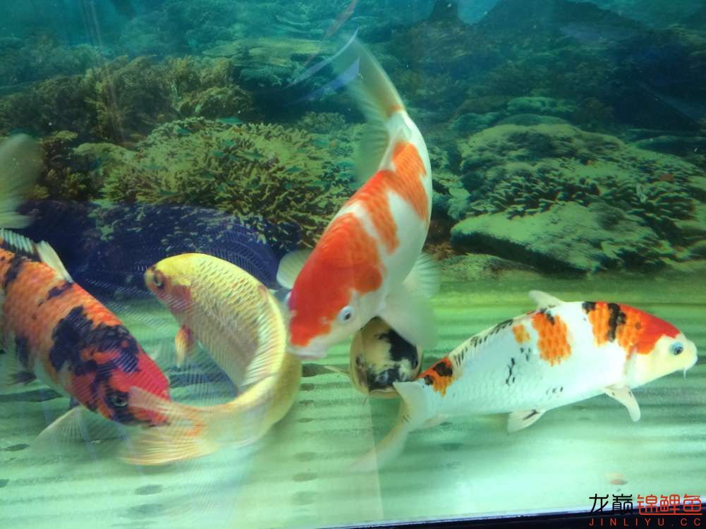 炮儿越来越大了 北京观赏鱼 北京龙鱼第6张