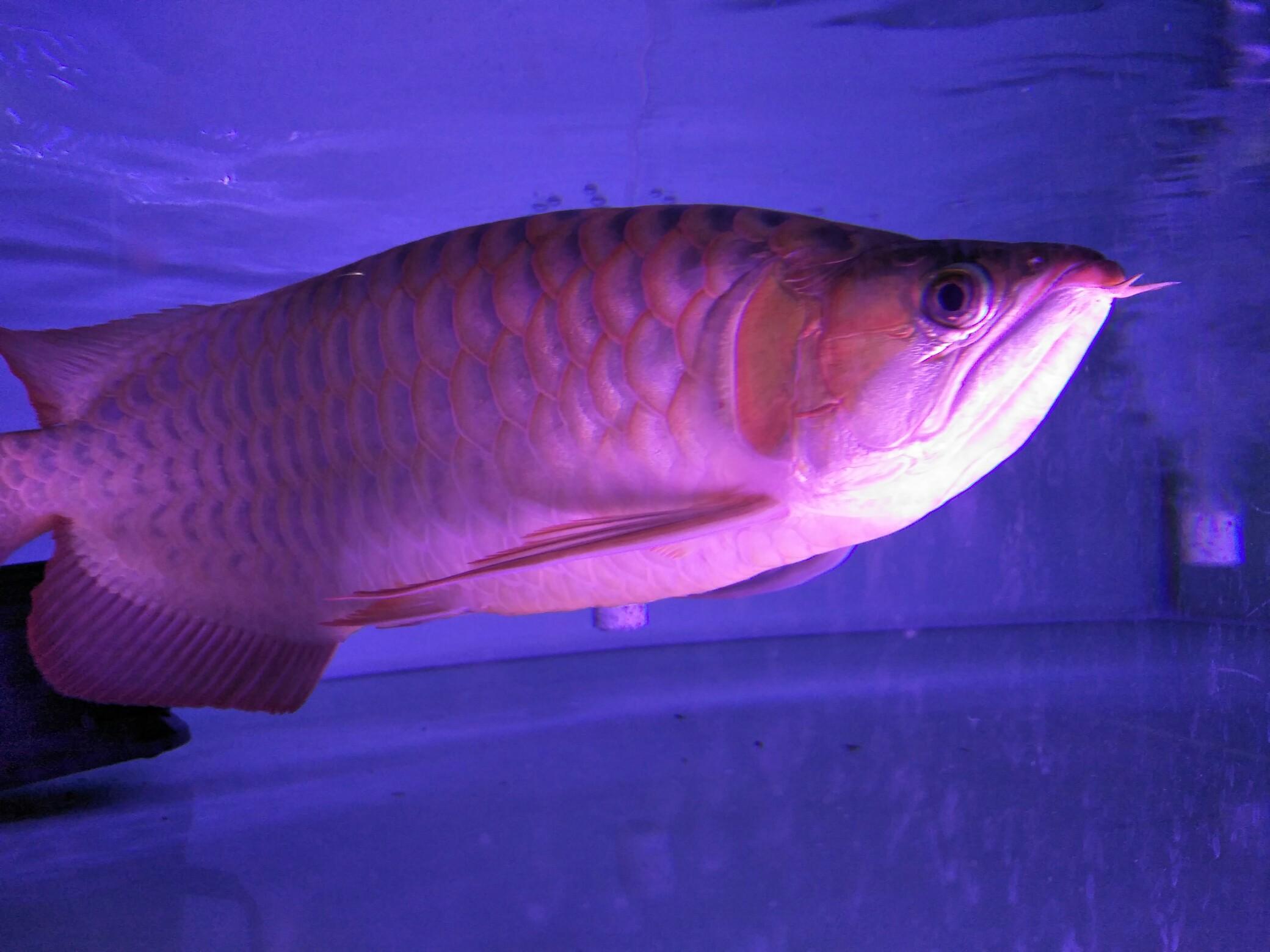 大红龙 翘头哦 北京观赏鱼 北京龙鱼第1张