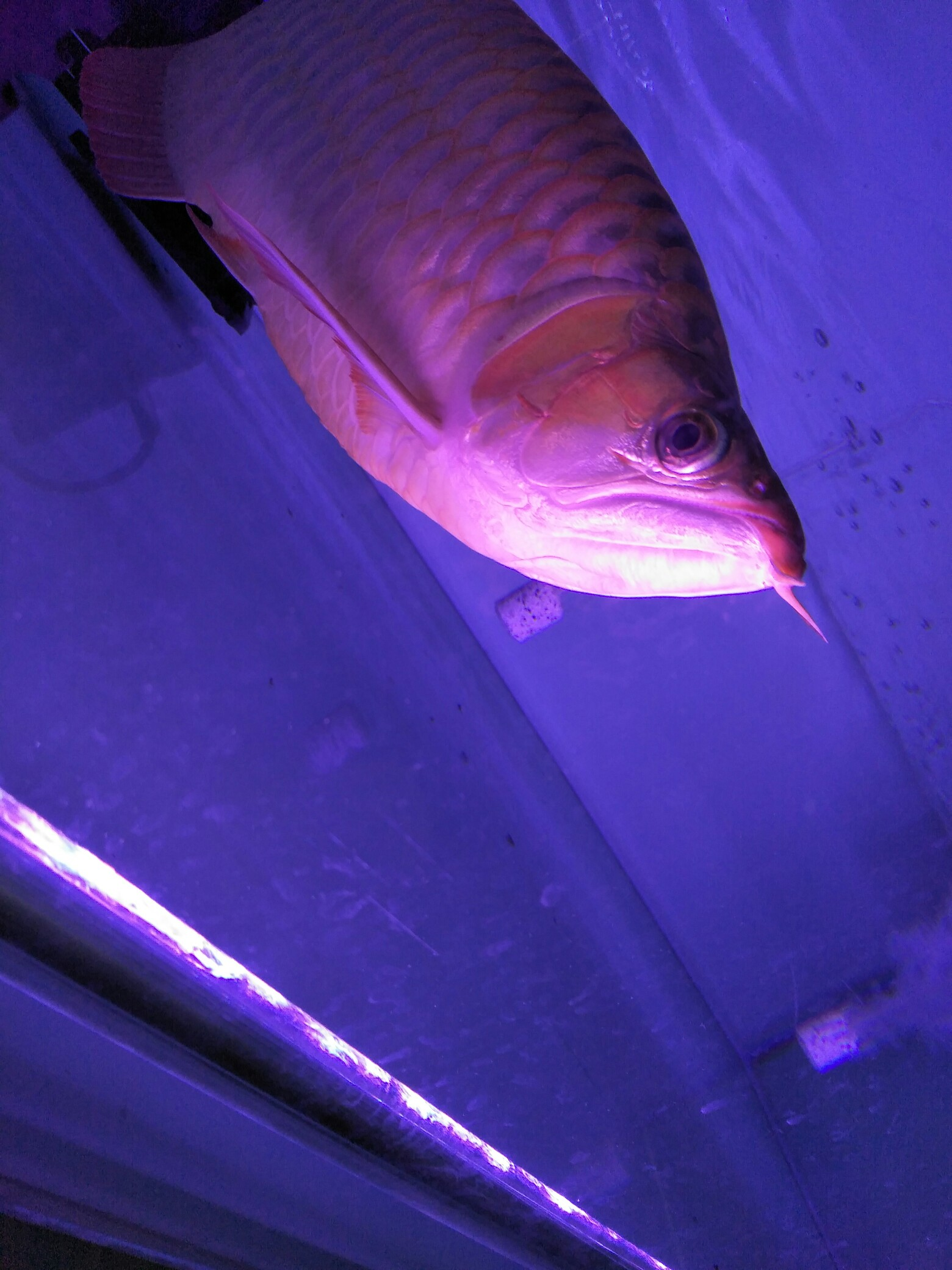 大红龙 翘头哦 北京观赏鱼 北京龙鱼第3张