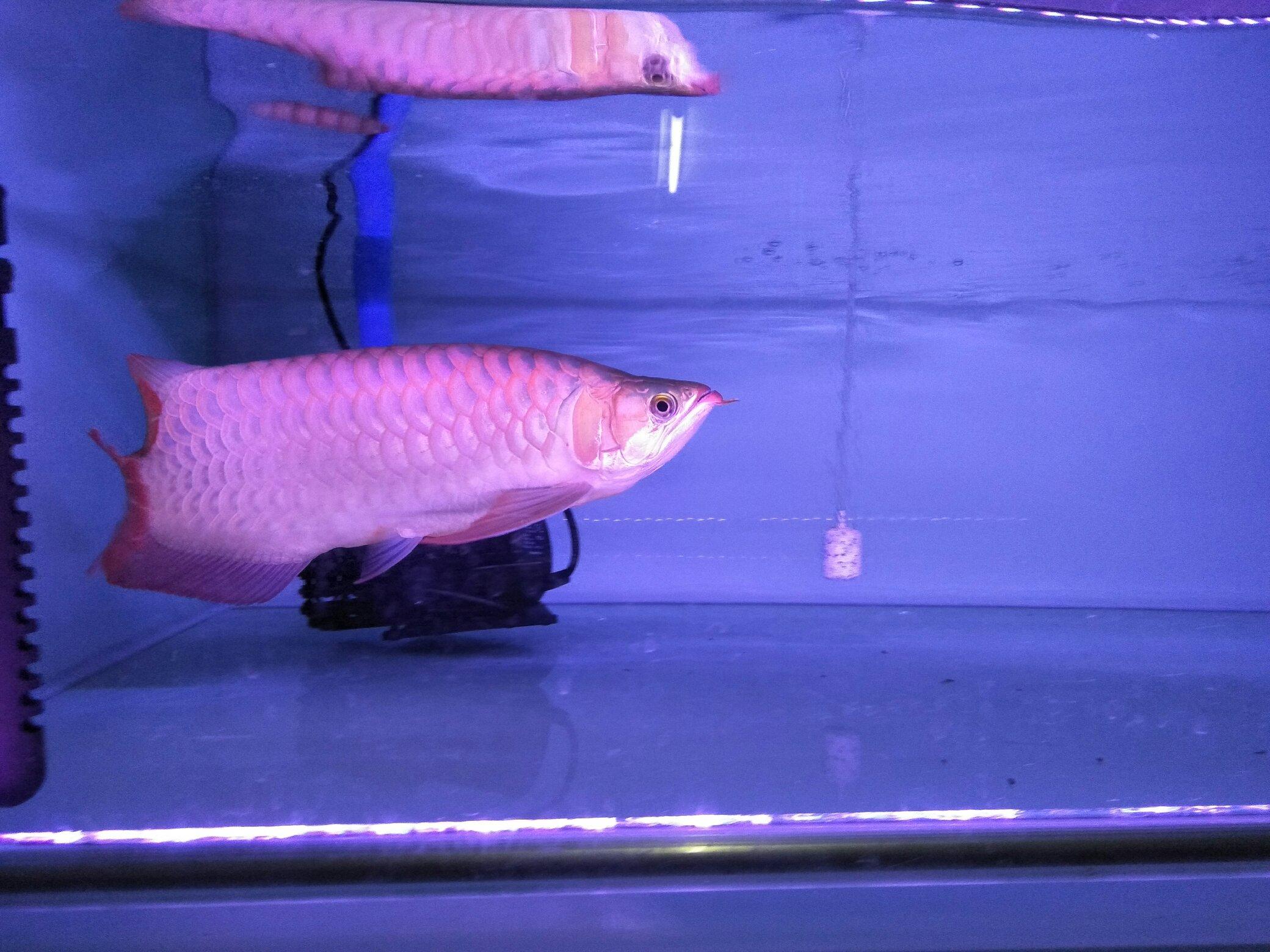 大红龙 翘头哦 北京观赏鱼 北京龙鱼第4张