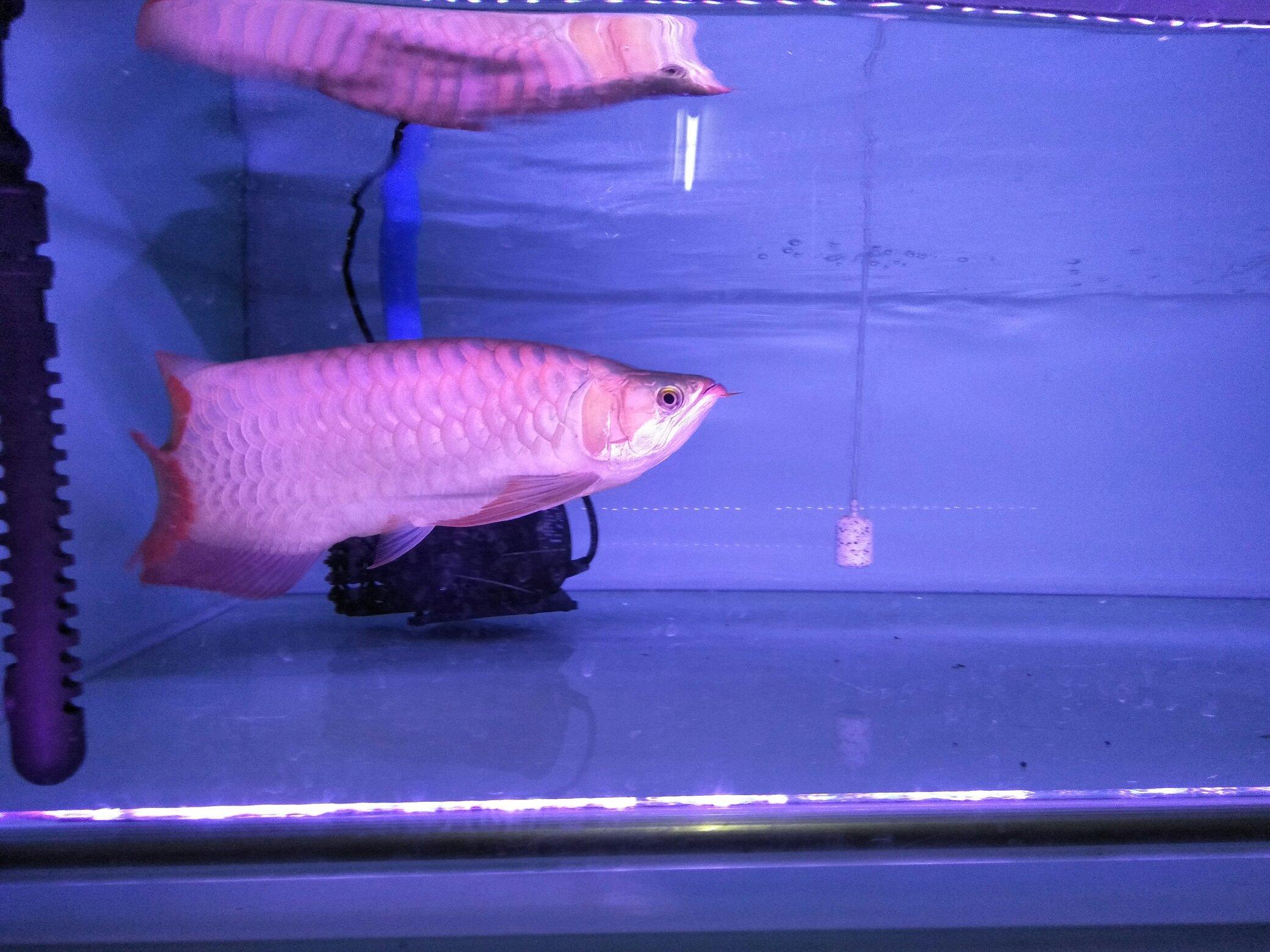 大红龙 翘头哦 北京观赏鱼 北京龙鱼第6张