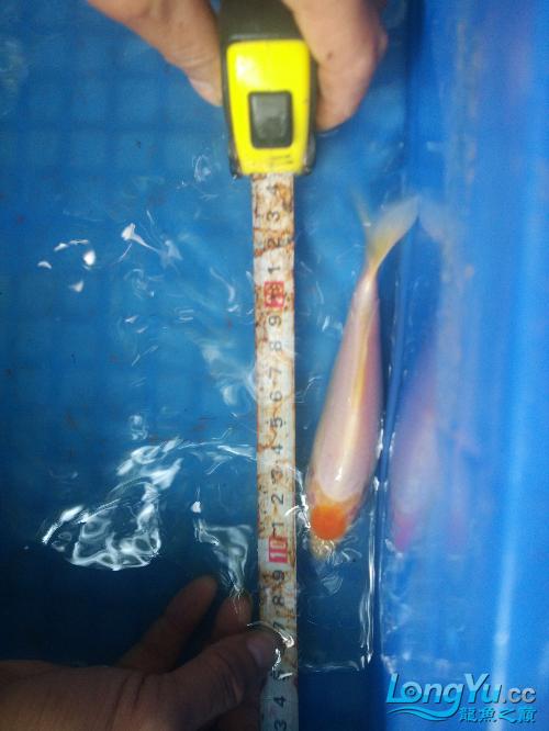 北京黄化白子银龙鱼纯天然小丹顶 北京观赏鱼 北京龙鱼第3张