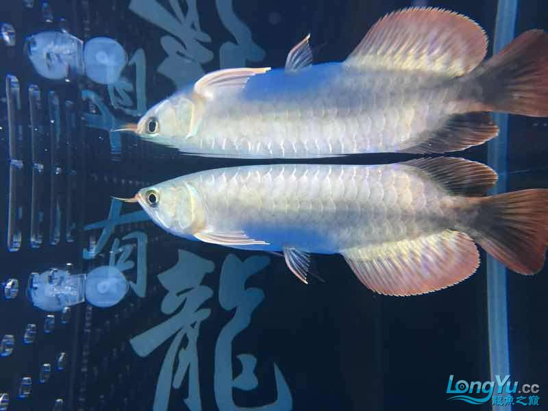 小辣椒 北京观赏鱼 北京龙鱼第5张