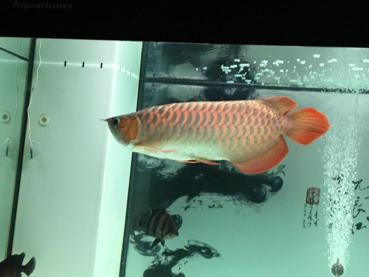 北京哪个水族店有豹纹夫晒晒新缸 北京龙鱼论坛 北京龙鱼第3张