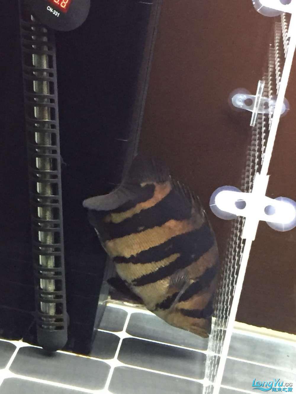 北京泰迪花谷32cm人字纹印尼虎 北京观赏鱼 北京龙鱼第2张