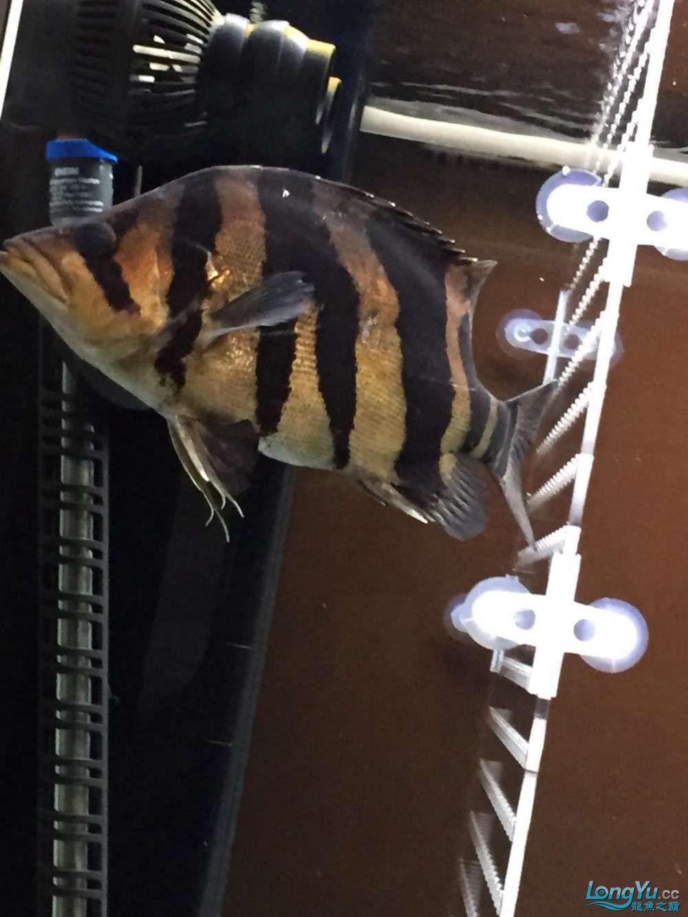 北京泰迪花谷32cm人字纹印尼虎 北京观赏鱼 北京龙鱼第3张