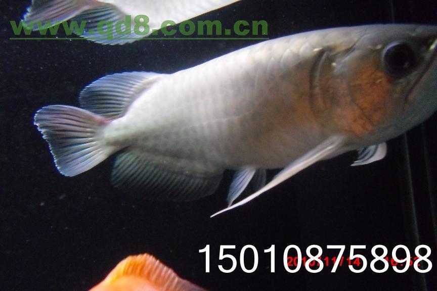 银龙也能养得溜 北京观赏鱼 北京龙鱼第3张