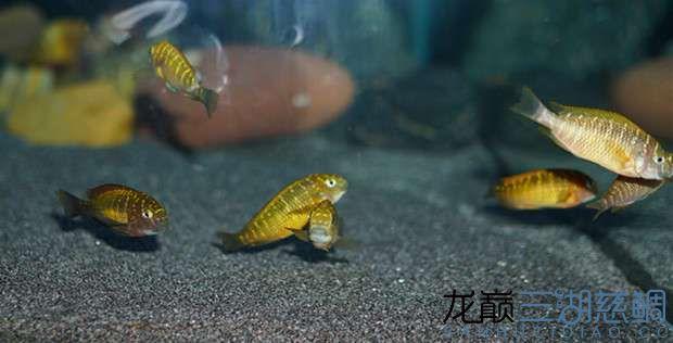 北京红眼白子关刀鱼75的方缸终于养了蝴蝶 北京观赏鱼 北京龙鱼第2张