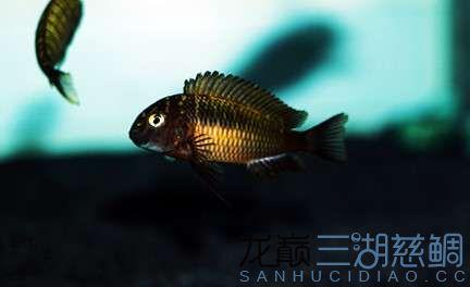 北京红眼白子关刀鱼75的方缸终于养了蝴蝶 北京观赏鱼 北京龙鱼第3张