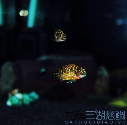 北京红眼白子关刀鱼75的方缸终于养了蝴蝶 北京观赏鱼 北京龙鱼第4张