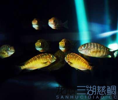 北京红眼白子关刀鱼75的方缸终于养了蝴蝶 北京观赏鱼 北京龙鱼第5张