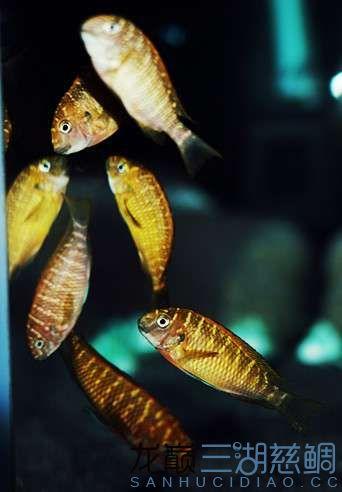 北京红眼白子关刀鱼75的方缸终于养了蝴蝶 北京观赏鱼 北京龙鱼第6张