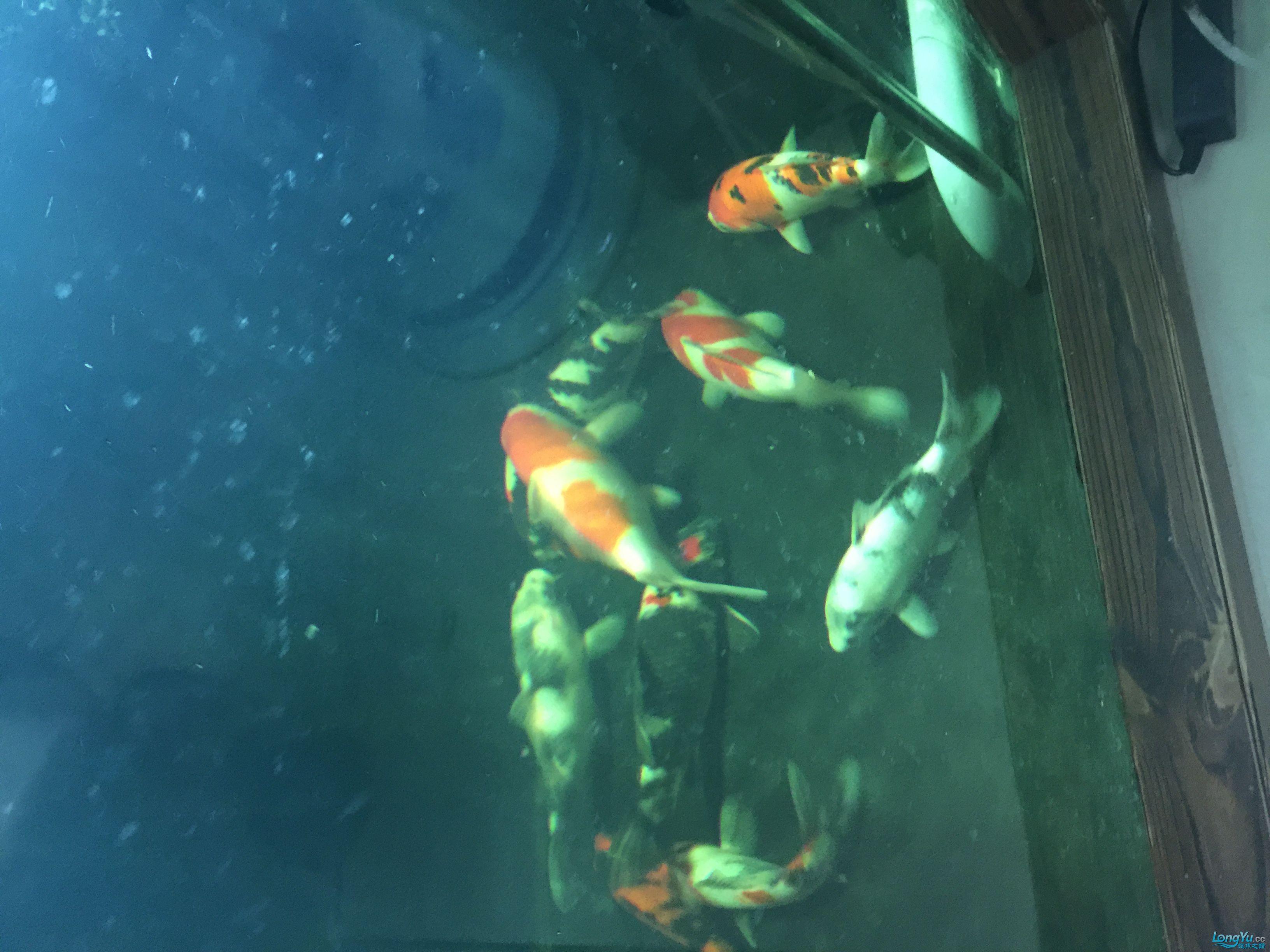 养了7个月了 北京龙鱼论坛 北京龙鱼第4张
