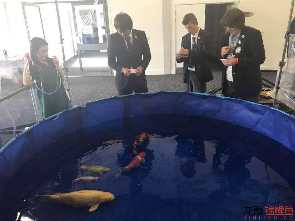 前不久在苏格兰的一场锦鲤展 北京龙鱼论坛 北京龙鱼第2张