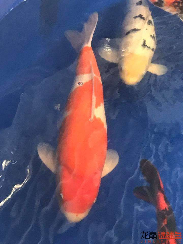 前不久在苏格兰的一场锦鲤展 北京龙鱼论坛 北京龙鱼第4张
