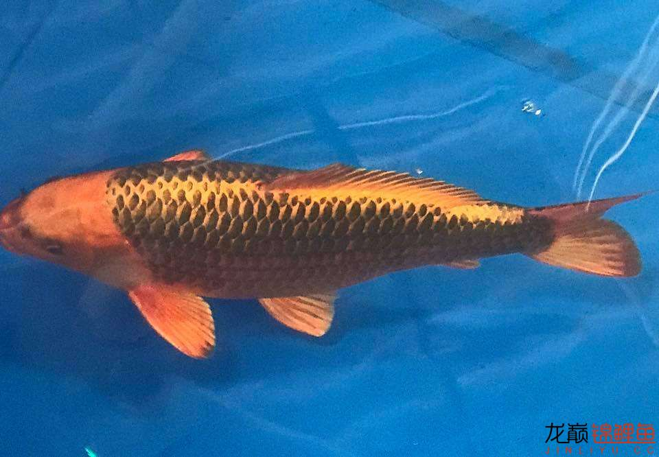 前不久在苏格兰的一场锦鲤展 北京龙鱼论坛 北京龙鱼第12张