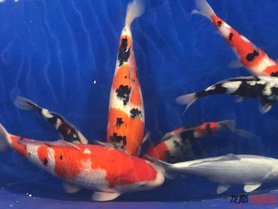 前不久在苏格兰的一场锦鲤展 北京龙鱼论坛 北京龙鱼第21张