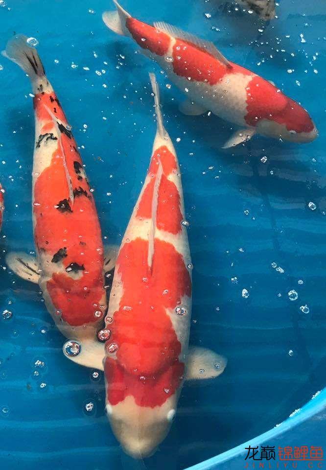 前不久在苏格兰的一场锦鲤展 北京龙鱼论坛 北京龙鱼第25张