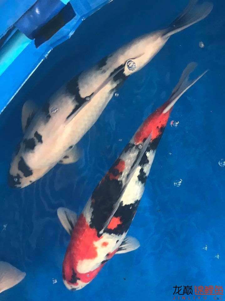 前不久在苏格兰的一场锦鲤展 北京龙鱼论坛 北京龙鱼第30张