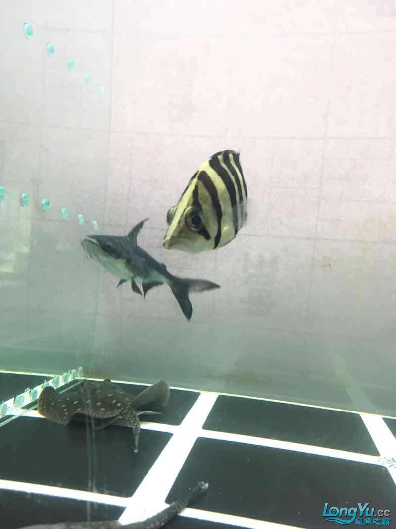 北京白子银板鱼小虎入缸一个星期了