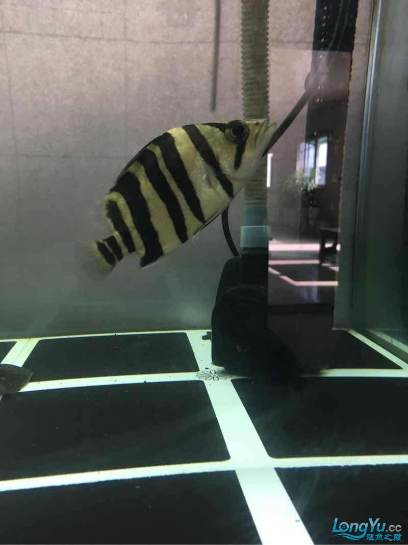 北京白子银板鱼小虎入缸一个星期了 北京龙鱼论坛 北京龙鱼第3张