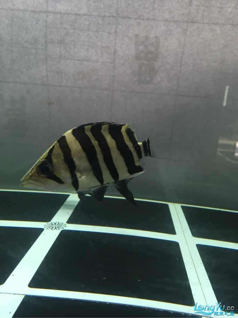 北京白子银板鱼小虎入缸一个星期了 北京龙鱼论坛 北京龙鱼第4张