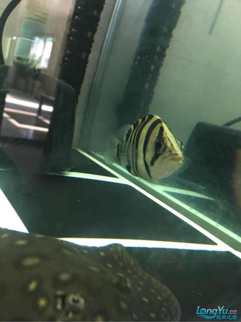 北京白子银板鱼小虎入缸一个星期了 北京龙鱼论坛 北京龙鱼第5张