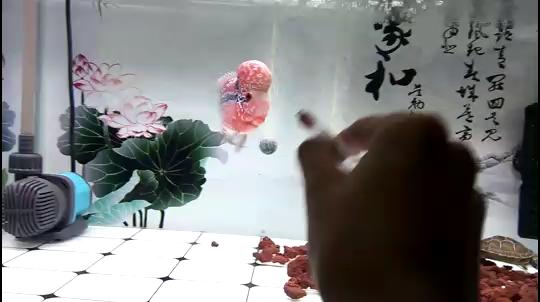 每日有趣的鱼 北京观赏鱼 北京龙鱼第1张
