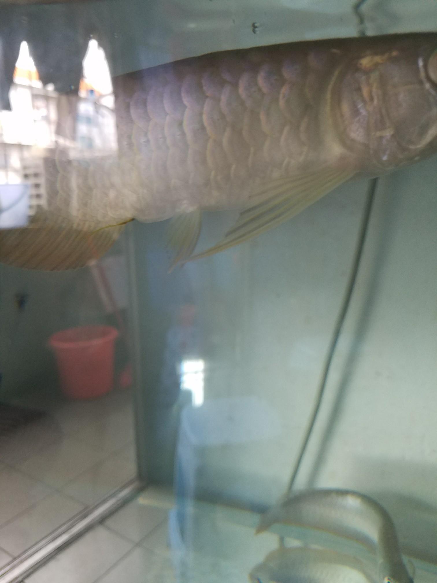 请帮我看下我的龙鱼怎么了 北京观赏鱼 北京龙鱼第2张