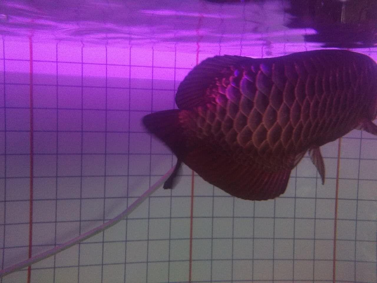 大家帮忙看看这个月1700怎么样谢啦 北京观赏鱼 北京龙鱼第4张